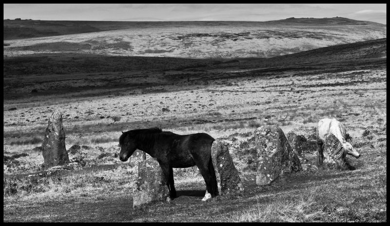 A Brown Pony Rubbing His Ass Against An Ancient Stone, A White Pony Scratching Her Neck Against Another, Scorhill Circle by Stu jenks
