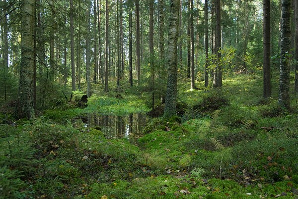 Sipoonkorpi Forest in Finland