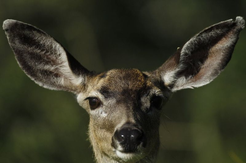 The watching deer