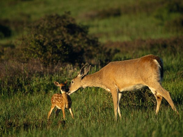 White-tail deer and fawn