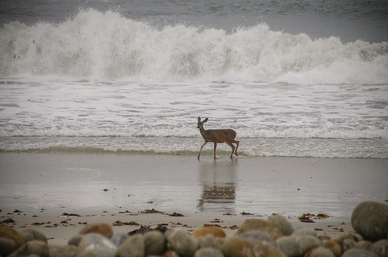 Deer in Ocean Surf by photographer Connie Cooper Edwards