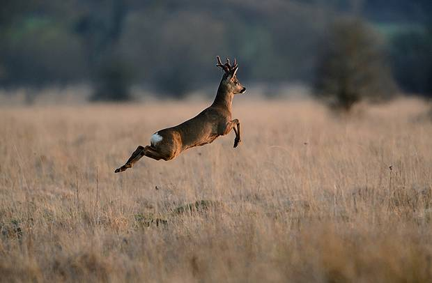 a leaping roe deer