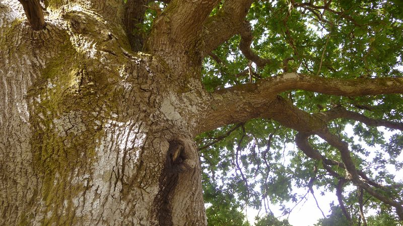 The murmuring oak, a wise old thing