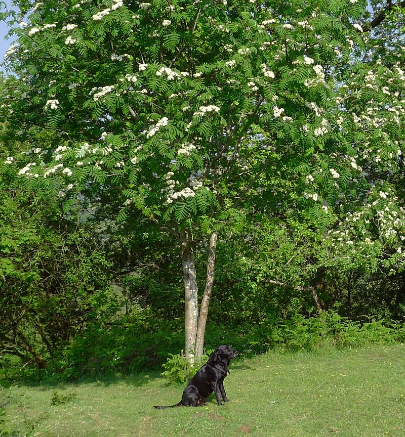 Under the rowan tree in spring
