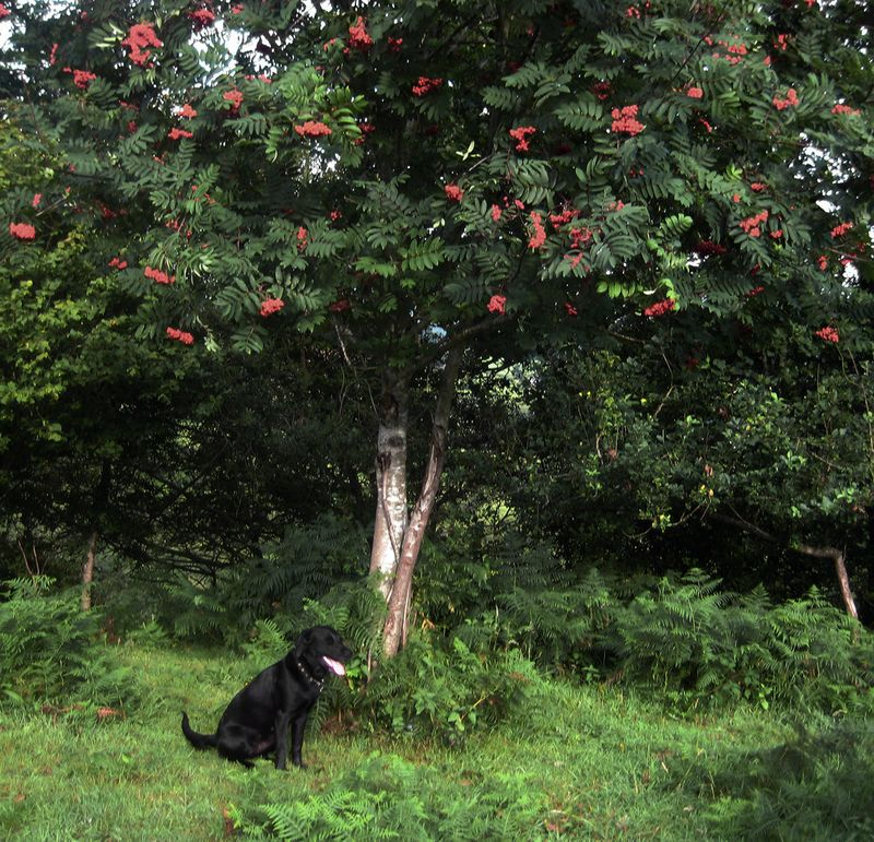 Under the rowan tree in autumn