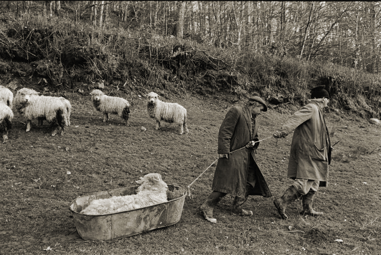 Moving the Sheep by James Ravilious