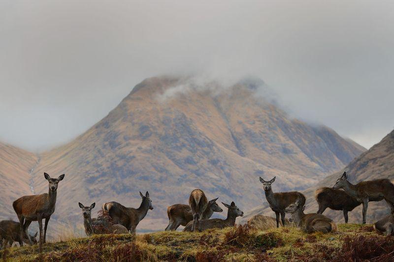 Deer in Glen Etive, Scotland