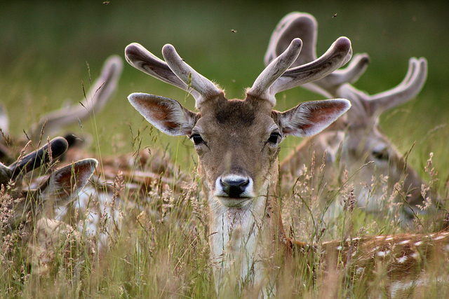 Young Fallow Deer by Joshua Smythe