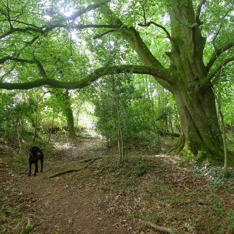 Tilly and the old, old beech