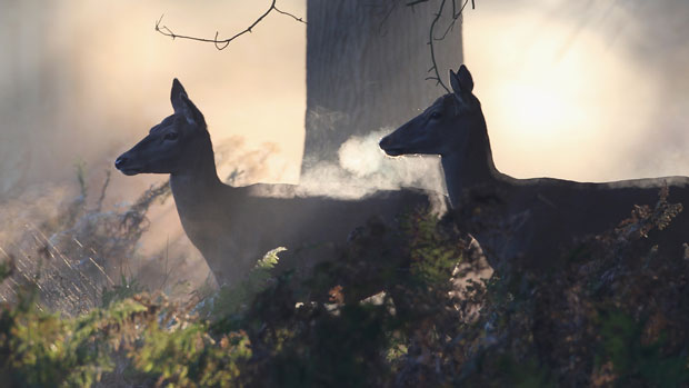 deer in morning mist