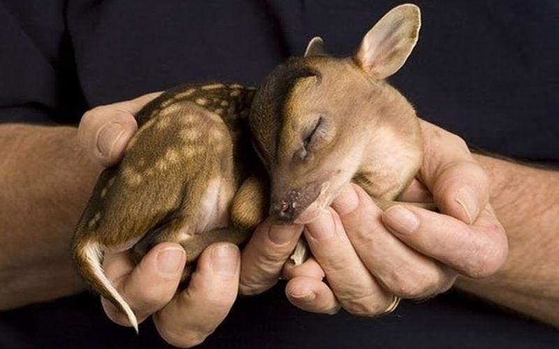 tiny muntjac fawn