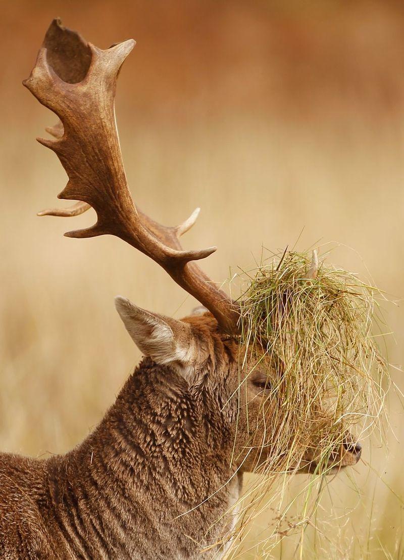 Rutting deer buck