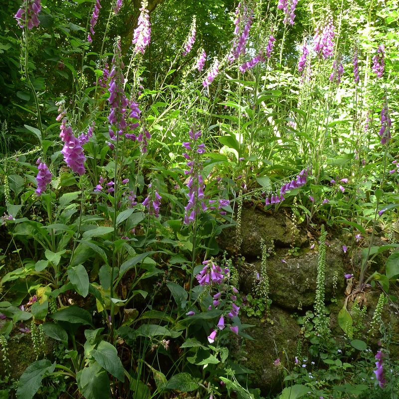 Foxgloves on an old stone wall