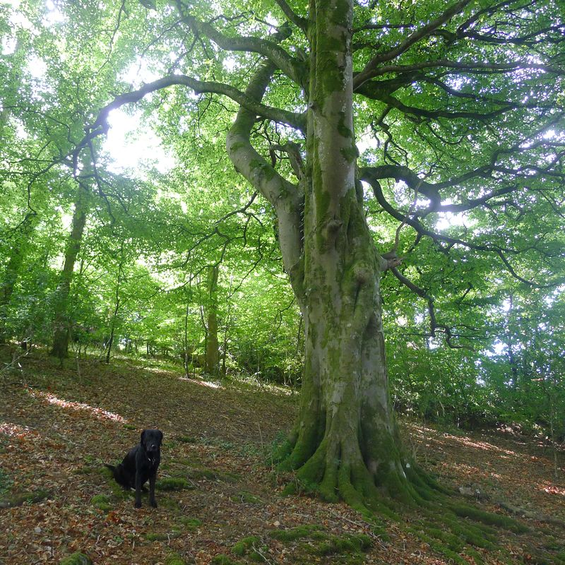 Under the beech tree, mid-summer