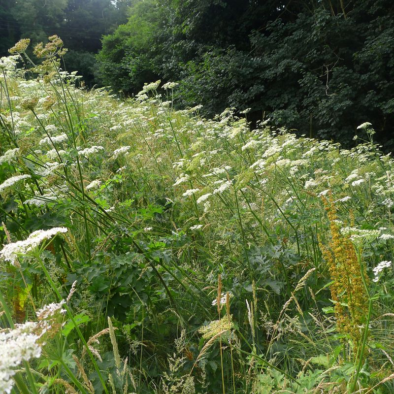 Queen Anne's Lace, Devon