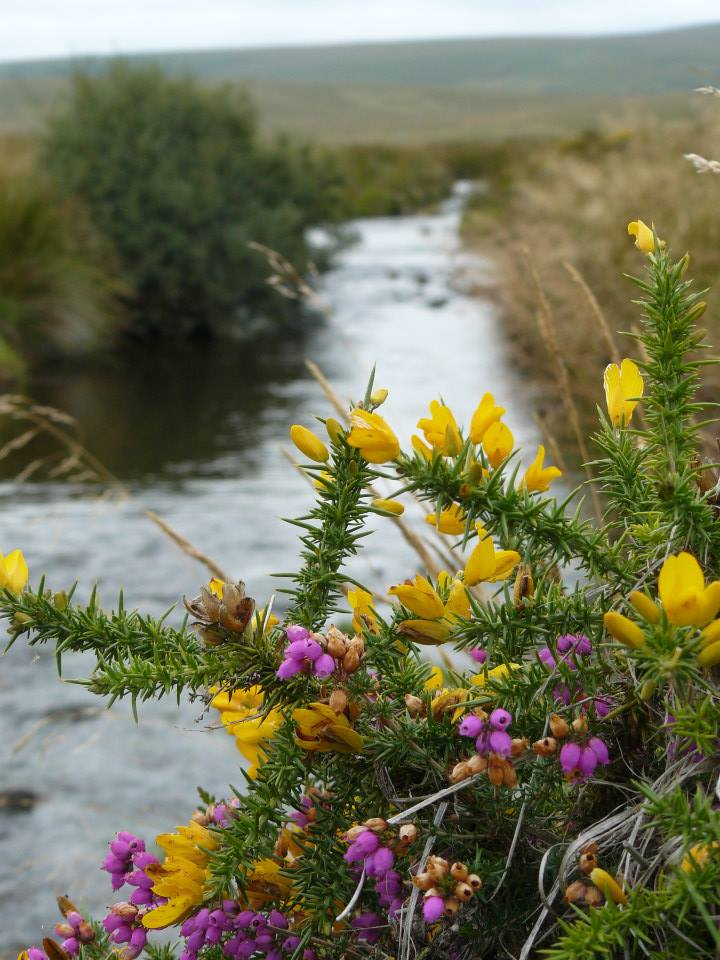 Heather and Gorse on Dartmoor by David Thiérrée
