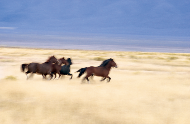 Wild mustangs, Nevada, by J. Bruce Baumann
