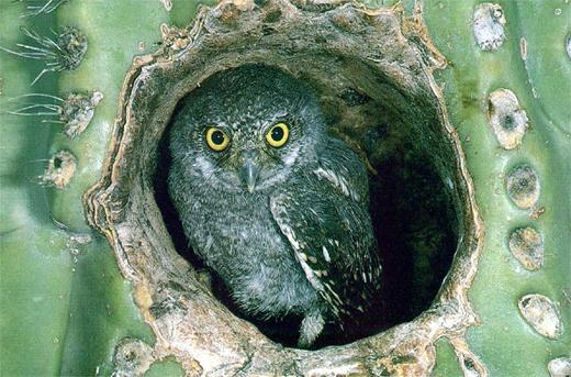 Desert Elf Owl
