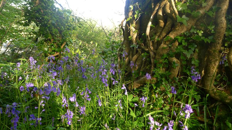 Bluebells, ivy, and oak