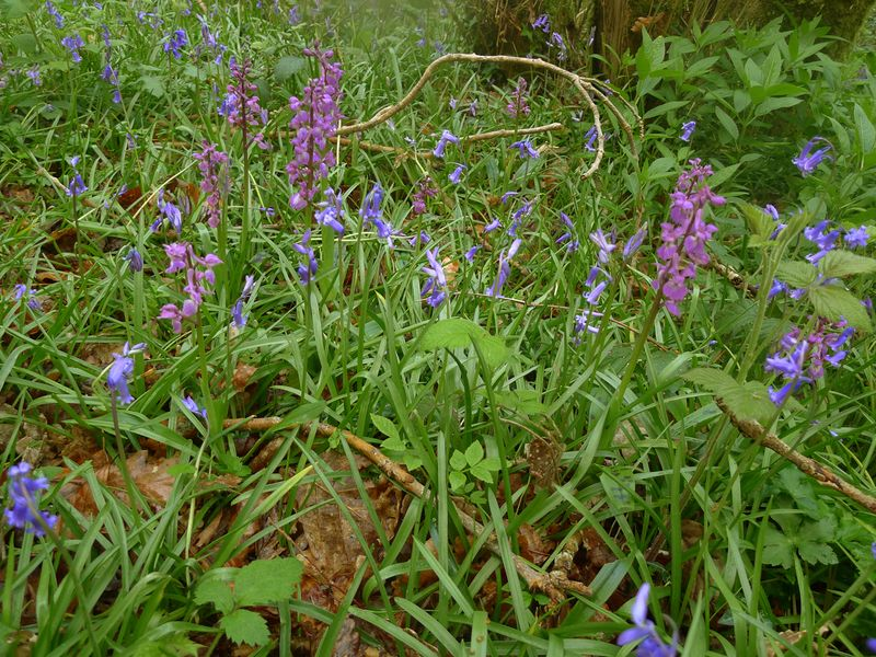 Bluebells and wild orchids