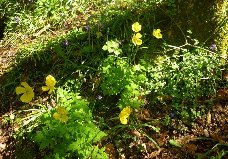 Wild poppies in Nattadon Wood