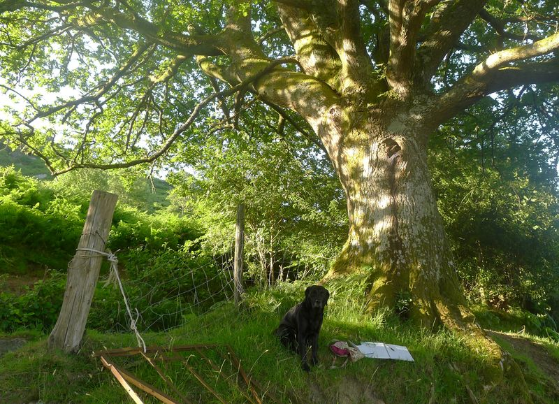Tilly beneath the old oak