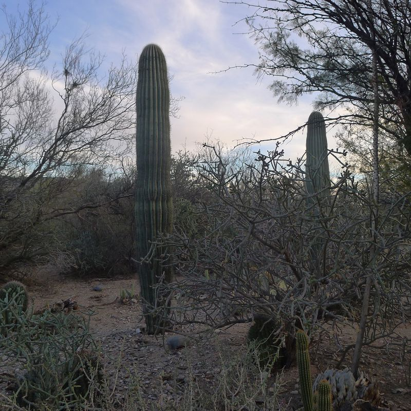 Saguaro friends, early evening