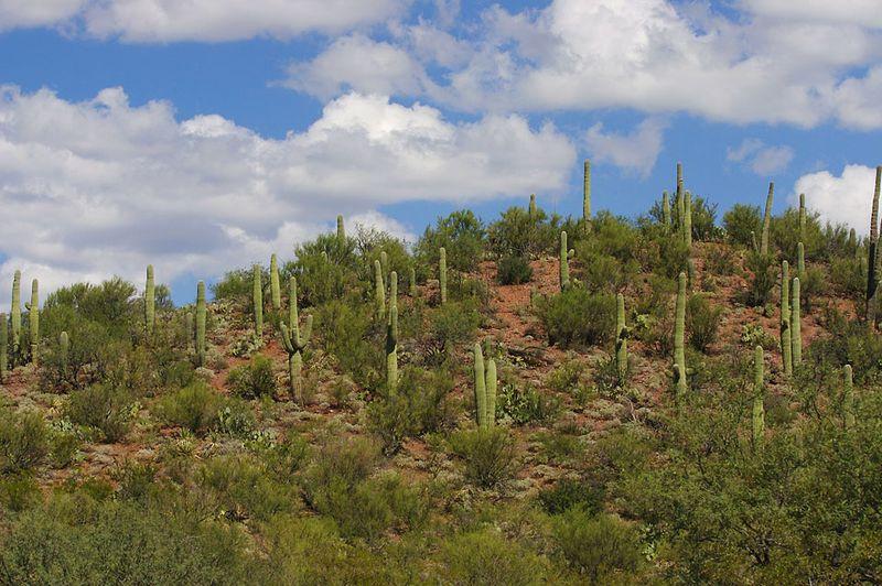 Saguaro in Sabino Canyon, Tucson