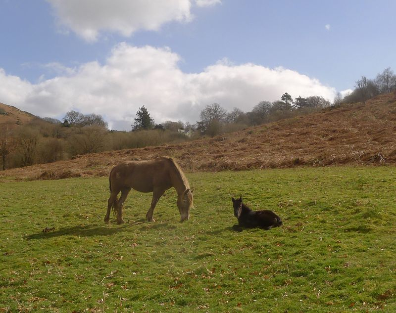 Dartmoor pony & newborn foal.