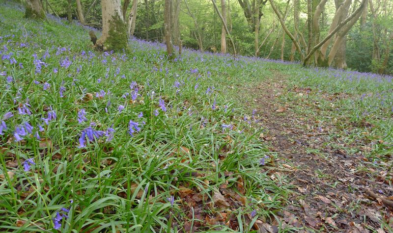 A froth of blue across the woodland floor