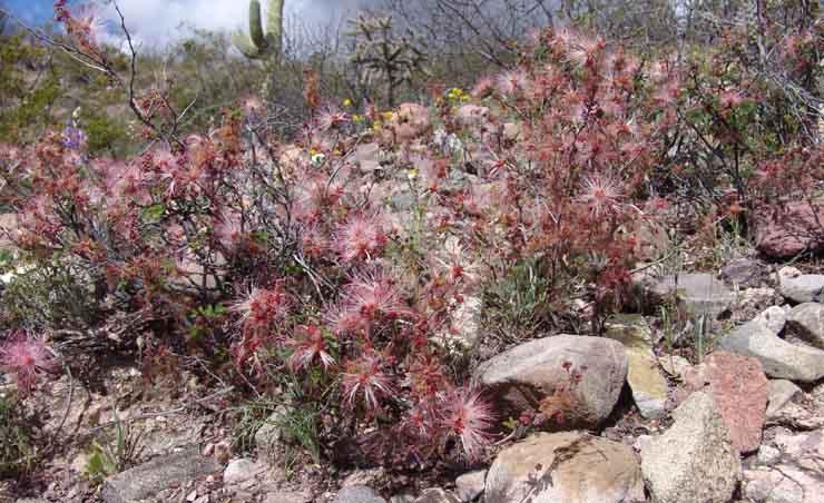 Desert fairy dusters (Calliandra eriophylla)