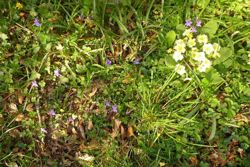 Primroses and violets along a woodland trail