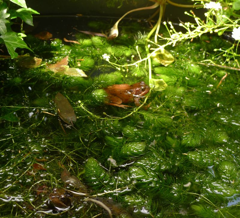 The Frog Prince in my pond