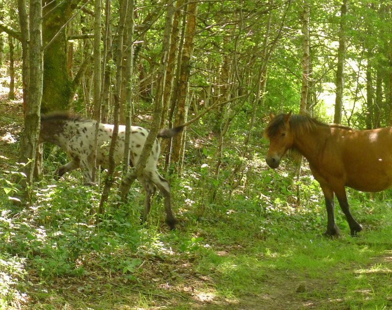 Dartmoor ponies in Nattadon Woods