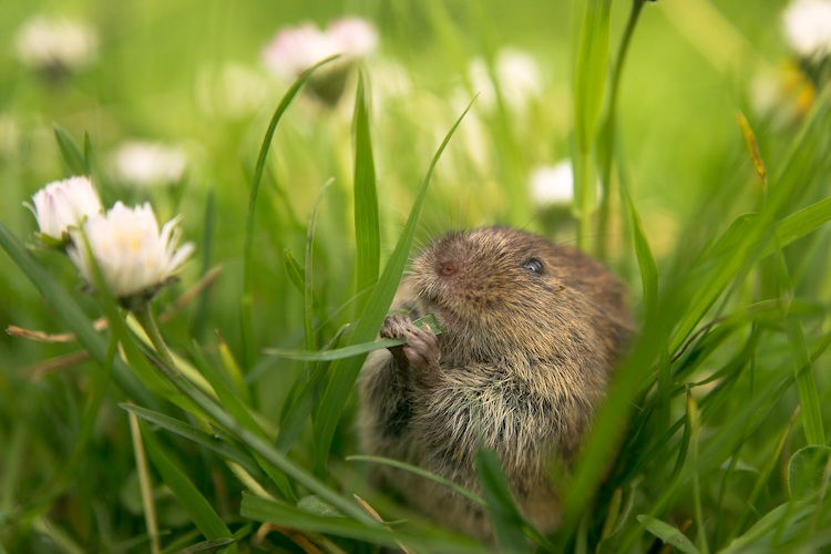 Hungry Vole, Oxfordshire, by Jamie Unwin