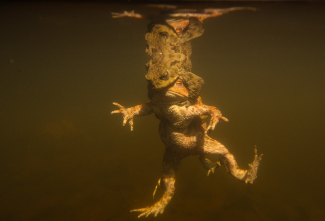Underwater Toad Ballet, Sheffield, by Paul Hobson