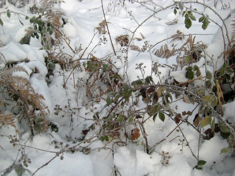 Blackberries in winter