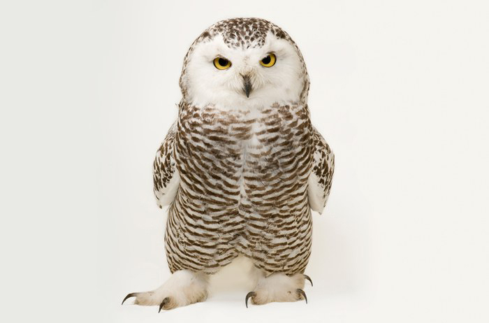Young female snowy owl by Joel Sartore