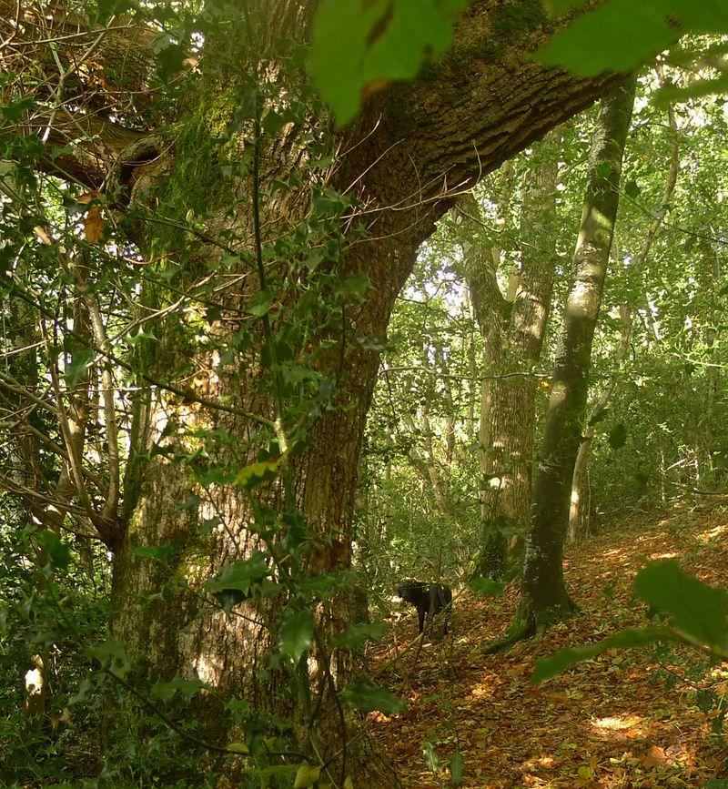 Beneath the Oak Elder