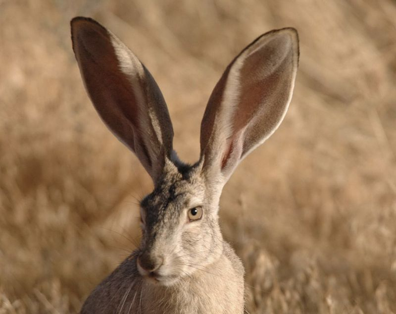 Desert Jackrabbit (Wikipedia photograph)