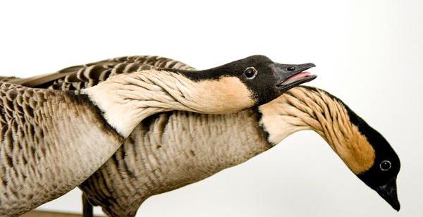 Hawaiian geese by Joel Sartore