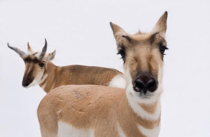 Pronghorn antelope by Joel Sartore