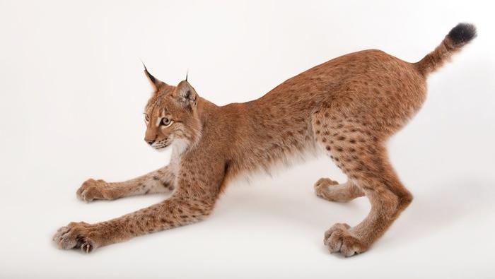 Eurasian lynx by Joel Sartore