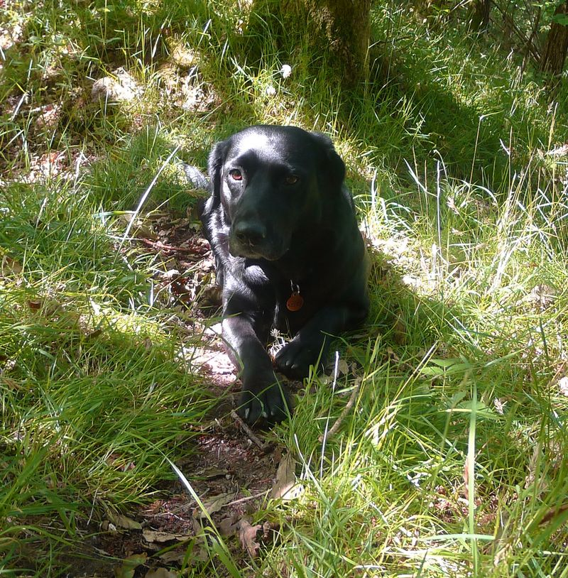 Black dog in green grass