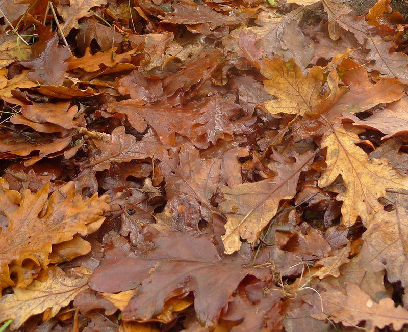 Oak leaves after rain