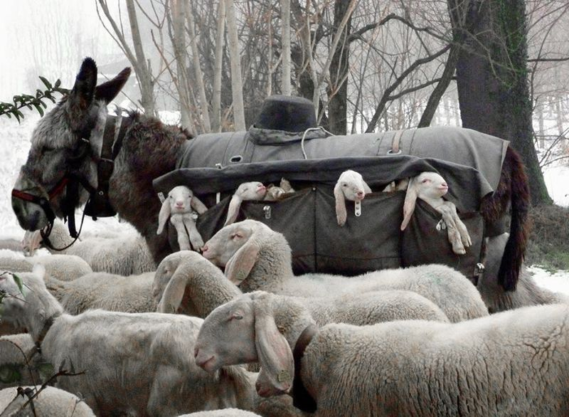 Donkey Nanny, Lombardy, Italy, photographed by Elspeth Kinneir