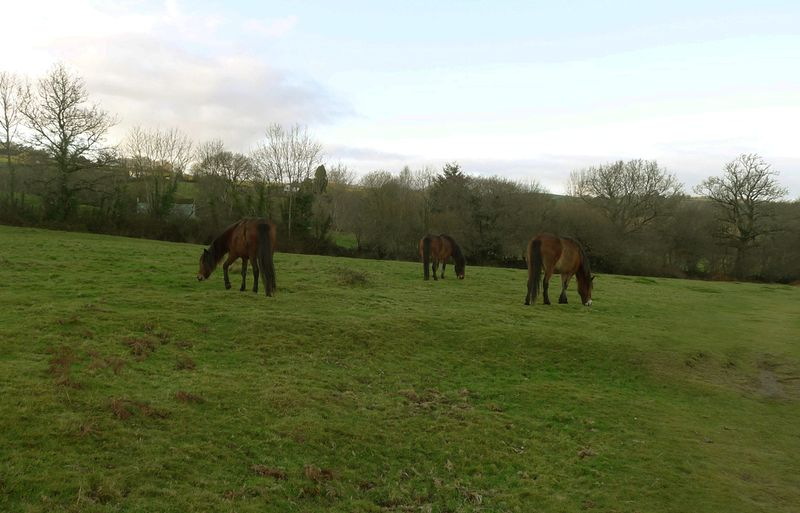Ponies grazing on the Commons
