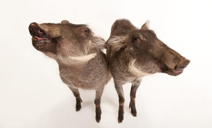 Warthogs by Joel Sartore