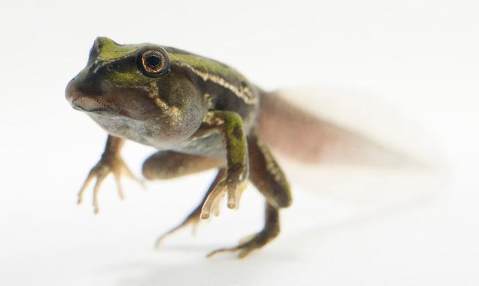San Lucas marsupial frog by Joel Sartore