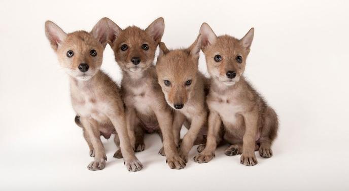 Nebraskan coyote pups by Joel Sartore